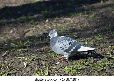 rock-pigeon-blue-on-grass-260nw-19187428