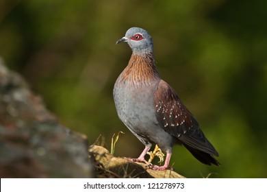 Rock Pigeon on rock, Drakensberg, Kwazulu Natal, South Africa.