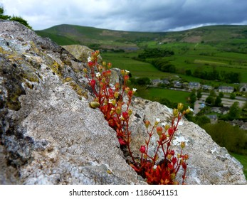 Rock Plant & The Beauty of Nature - Pevril Castle, Castleton, Hope Valley, Derbyshire Peak District