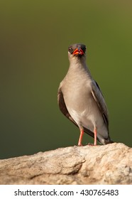 Rock Pratincole, Glareola nuchalis, vertical photo of adult bird perched on rock and staring directly at camera against abstract green background.  Murchison Falls, Uganda.