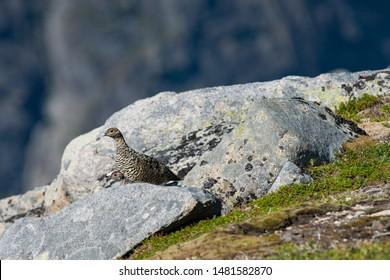 Rock Ptarmigan Bird well camouflaged against the mountains of beautiful Lofoten, Norway. Birdwatching Lofoten Traveling in Norwegian beautiful Landscapes.