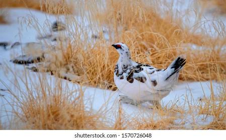 Rock Ptarmigan foraging in the snow
