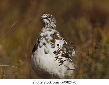 Rock Ptarmigan (Lagopus muta) male, feathers moulting from summer brown to winter white, Denali National Park, Alaska.