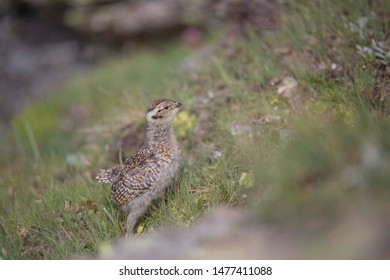 The rock ptarmigan (Lagopus muta) is a medium-sized gamebird in the grouse family. It is known simply as the ptarmigan in the UK and in Canada