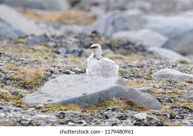 Rock Ptarmigan (Lagopus muta) Perched on the Tundra at the Edge of the Arctic Ocean on the Coast of Spitsbergen Svalbard Archipelago in Northern Norway