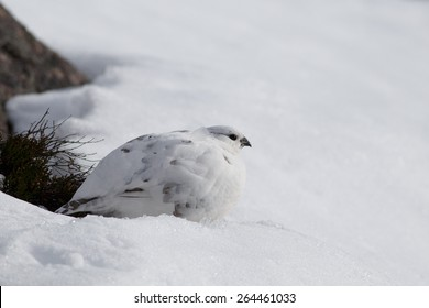 Rock Ptarmigan (Lagopus muta) in winter plumage sitting in the snow
