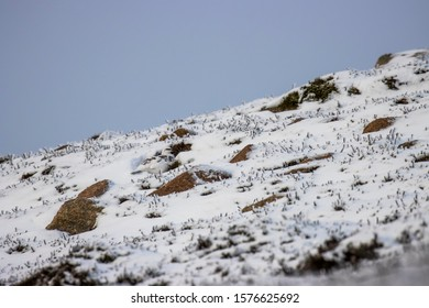 Rock Ptarmigan, Lagopus mutus, seen within environment sheltering or hiding on a snow covered slope in winter during December, Scotland.