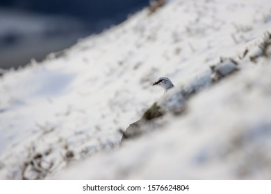 Rock Ptarmigan, Lagopus mutus, showing just the head on a snow covered slope in winter during December, Scotland.