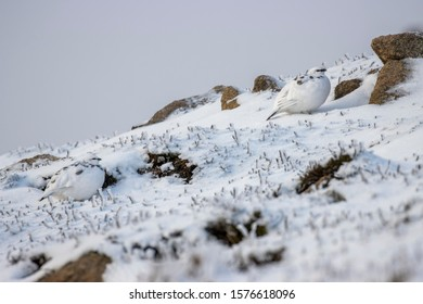 Rock Ptarmigan, Lagopus mutus, x 2 in partial winter moult perched on the snowy ground in winter during December in Scotland.