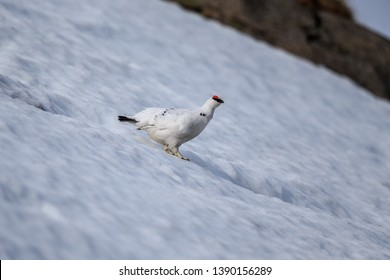 The rock ptarmigan is a medium-sized gamebird in the grouse family. It is known simply as the ptarmigan in the UK and in Canada