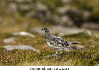 Rock ptarmigan in the Scottish Highlands. Beautiful wild bird captured in the heart of the Cairngorms National Park.