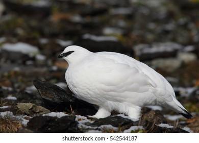 rock ptarmigan - winter plumage