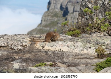 Rock rabbit on the table mountain