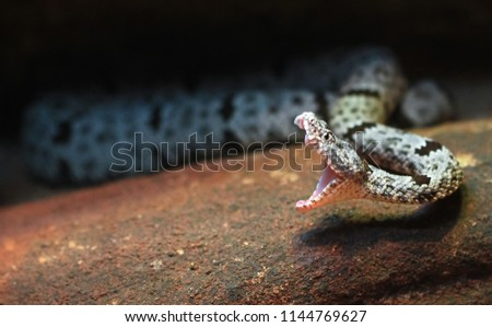 A rock rattlesnake Crotalus