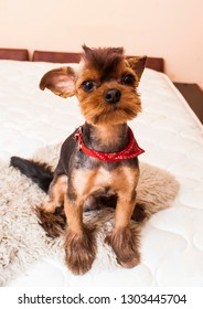 Rock and roll style yorkie