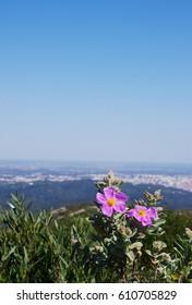 Rock Rose flower (or Cistus flower) in Arrabida natural park