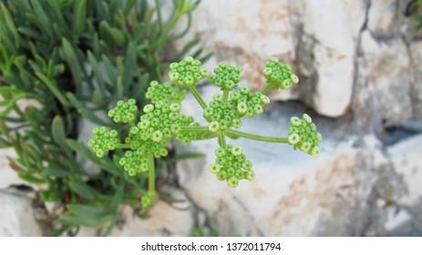 Rock samphire (Crithmum maritimum) often known as sea fennel. Green flowering, edible plant on coastline rocks, closeup of small flowers.