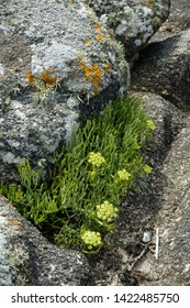 Rock Samphire on sea coast