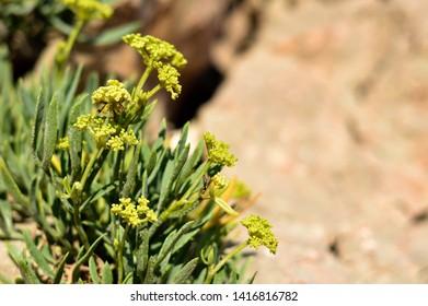 Rock samphire or sea fennel plant