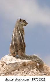 Rock Squirrel inspecting surroundings