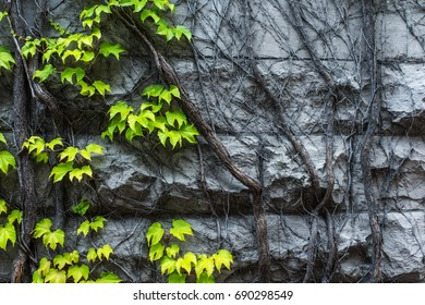Rock wall covered with vines, half green and half dead; strong contrast between life and death.