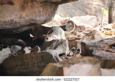 rock wallabies near rocks in Australia's Kakadu National Park