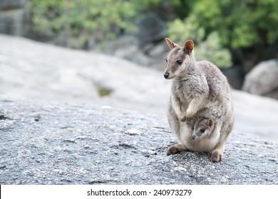 Rock Wallaby, Australia