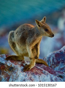 A Rock Wallaby on a dam wall at sunset