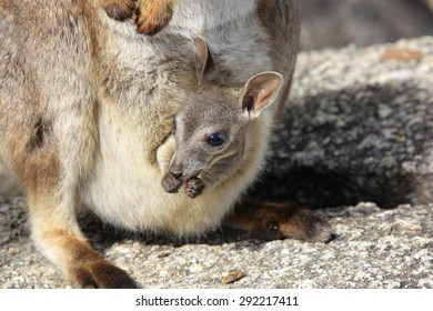 a rock wallaby with a young joey in mothers pouch at Granite Gorge near Mareeba