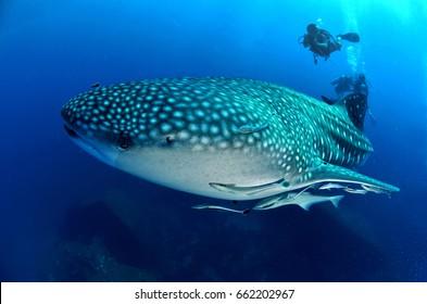 rock whale shark reef coral sea ocean  scuba diving