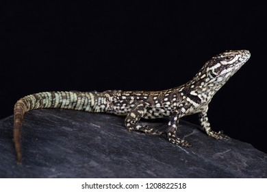 Rock Whorltail Iguana (Stenocercus empetrus)