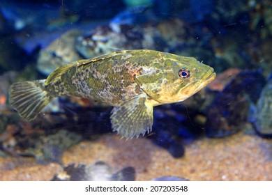 Rockfish or Ocean perch (Sebastes pachycephalus) in Japan