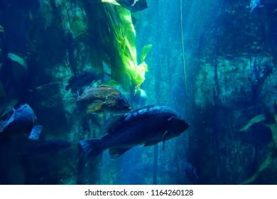 Rockfish swimming in huge tank in  Newport, Oregon