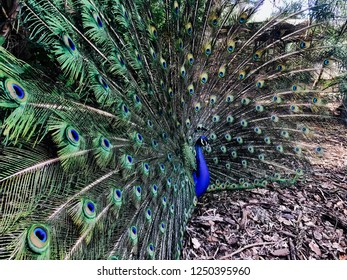 Rockhampton, Australia - 12 October 2017: Peacock opening its feather before it starts to rain