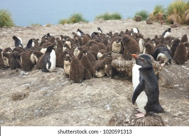 Rockhopper Penguin chicks (Eudyptes chrysocome) huddle together in a creche on Bleaker Island in the Falkland Islands whilst most adults are away at sea feeding. A few adults remain to keep order.