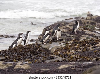 Rockhopper Penguin, Eudyptes chrysocome, go from the sea, Island Sounders, Falkland Islands / Malvinas