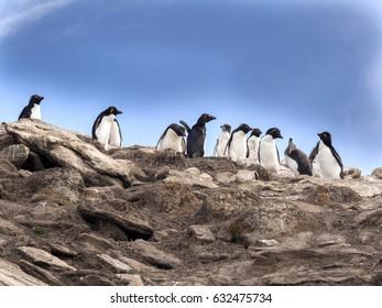 Rockhopper Penguin, Eudyptes chrysocome,  Island Sounders, Falkland Islands / Malvinas