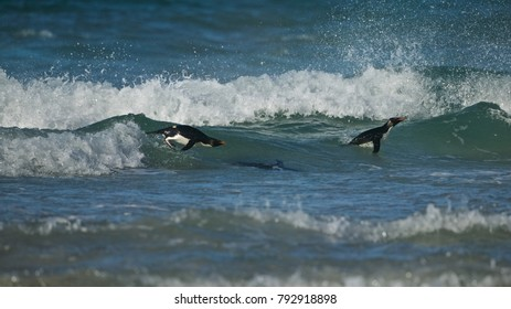 Rockhopper penguin (Eudyptes chrysocome) swimming in the surf