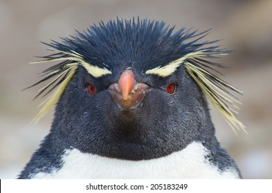 Rockhopper penguin looks directly at camera
