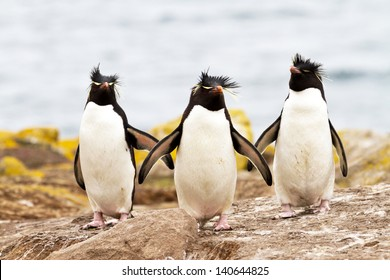 Rockhopper Penguins walking uphill