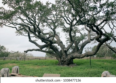 ROCKPORT, TEXAS, USA - MARCH 3, 2018: People are looking at the Big Tree at Goose Island State Park.