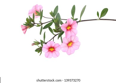 rock-rose on white background