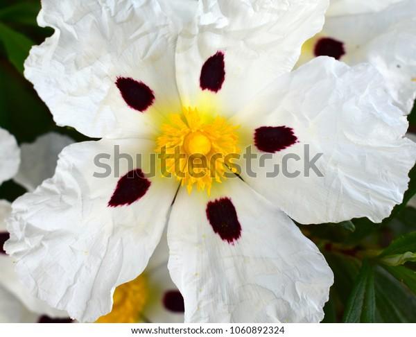 """Rockrose"" White flower in Spring"