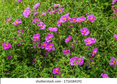 Rock-roses (Cistus creticus), also known as  hoary rock-rose, a species of shrubby plant in the family Cistaceae.