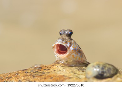 Rockskipper fish - a species of amphibious fish that can walk on land by holding water in it's mouth to breath