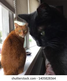 Rockville Centre , NY/ USA - March 12, 2019:  Black cat posing on a window, photobombing an orange tabby.