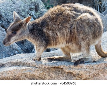 Rock-wallabies - Genus Petrogale