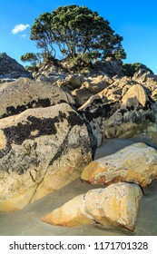 Rocky Beach Landscape. A Tree Grows Atop a Pile of Boulders. The Little Black Shells on the Rocks Are Known as Flea Mussels. Photo Taken in the Bay of Plenty, New Zealand