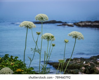 rocky coastal seascape with white wildflowers in the foreground - Ogunquit, Maine