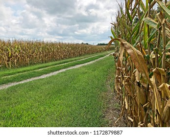 A rocky country farm road between two ripening field corn fields lined with grass at the end of summer with copy space.